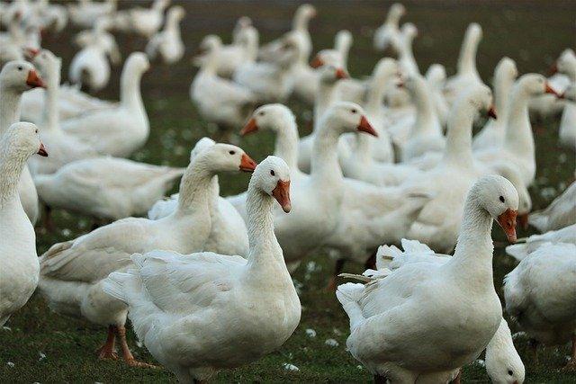 Власти Крыма готовятся к птичьему гриппу