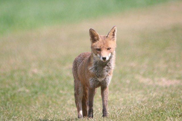 «Просят кушать»: в Балаклаве голодные лисы выпрашивают у людей еду (видео)