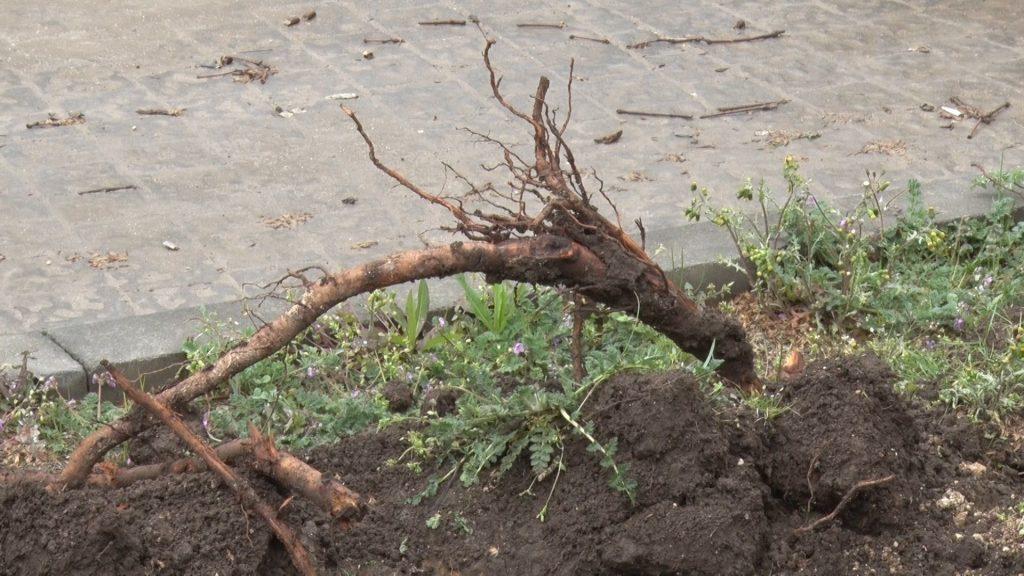 Сотрудники КК «Аквамарин» вышли спасать поврежденные многолетние деревья