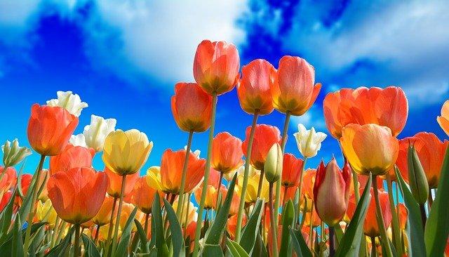 Когда в Никитском саду пройдет парад тюльпанов