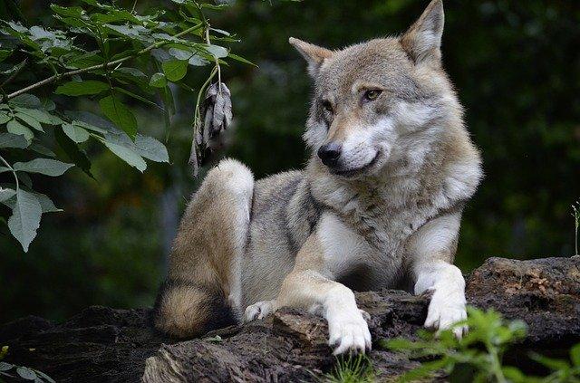 В зоопарке в Бахчисарае родились два волчонка
