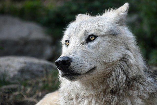 В Крыму обнаружили тело убитого волка