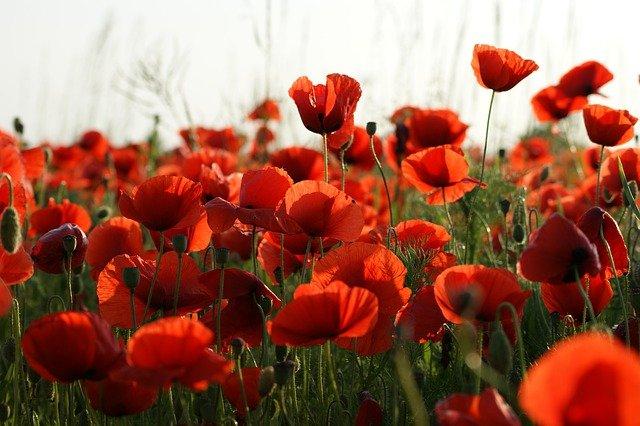 В Крыму цветут маковые поля: где фотографироваться