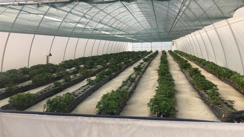 В 2021 году в Севастополе планируют собрать 200 тонн садовой клубники