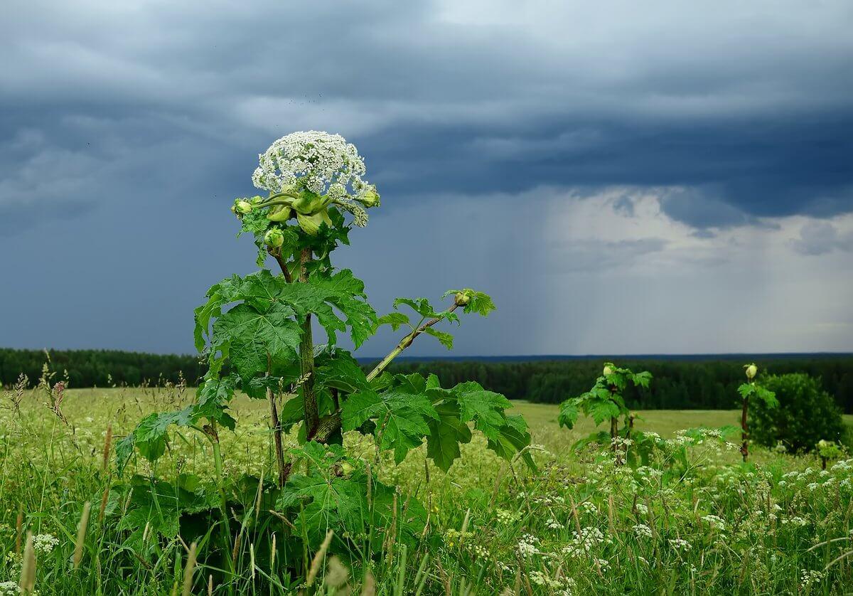 Ожог роговицы и слепота: в Крыму зацвело опасное растение