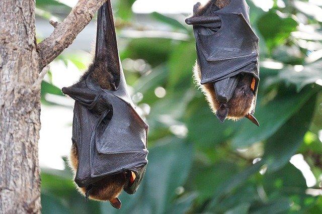 У летучих мышей в Индии нашли смертельный для людей вирус