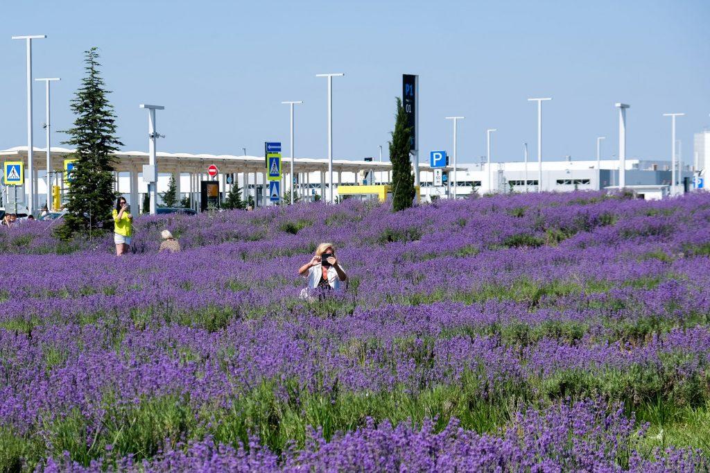 Туристы вытаптывают и рвут лаванду на поле аэропорта Симферополь
