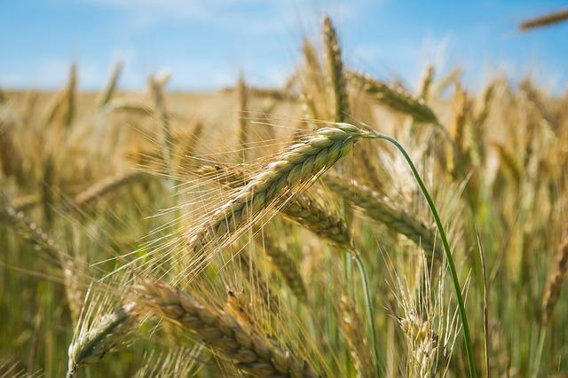Крымские аграрии намолотили свыше 1 млн тонн зерновых – Минсельхоз