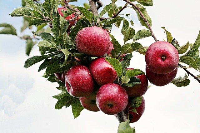 В Крыму собрали более 200 тонн яблок