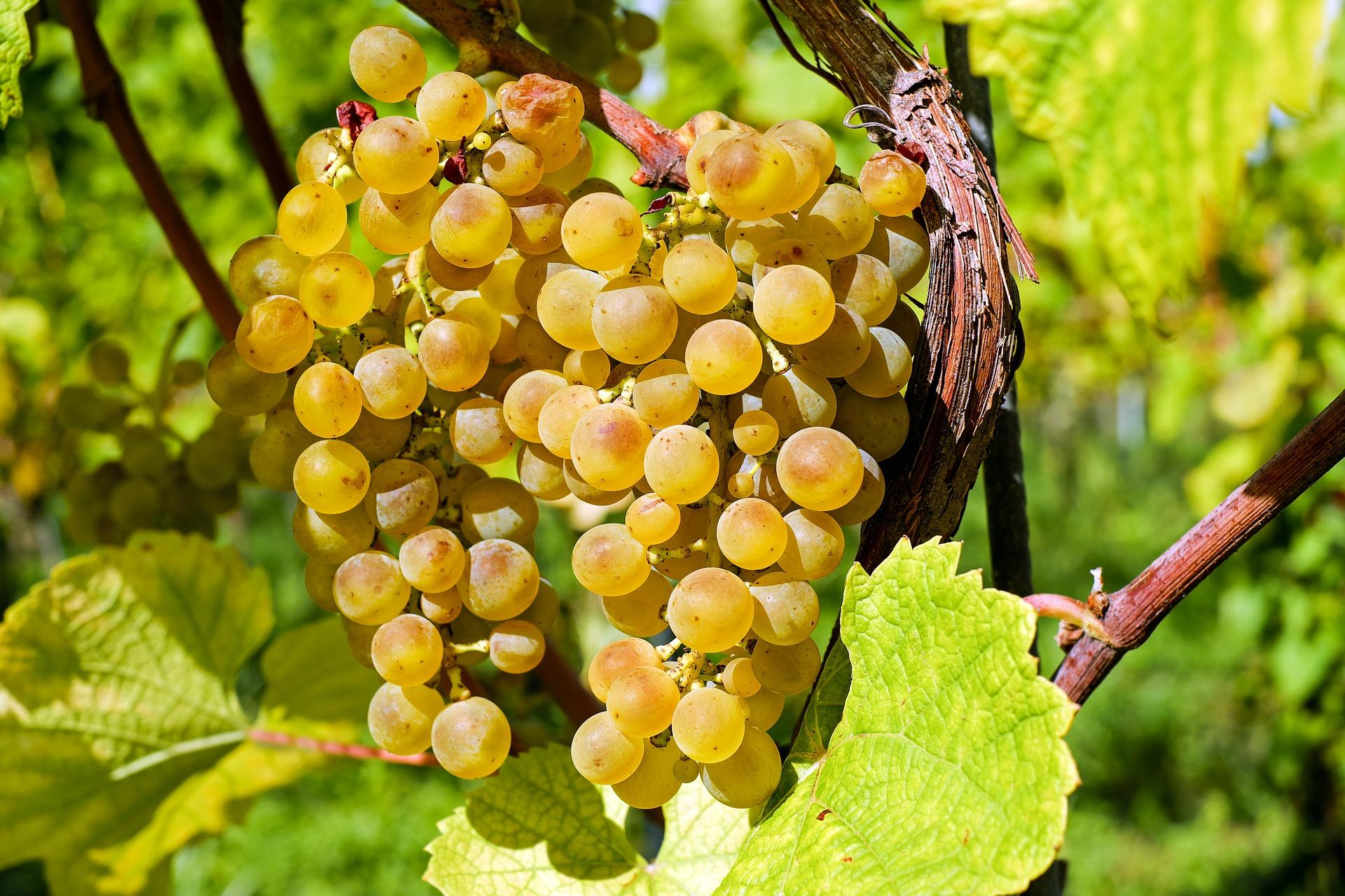 В Крыму почти в три раза подорожал виноград