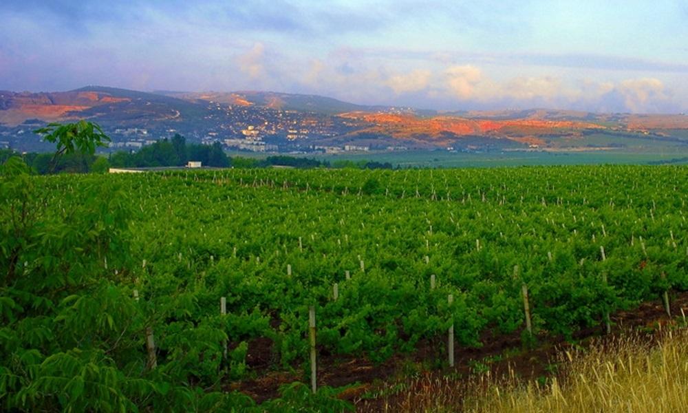 Более 200 млн рублей получили 12 хозяйств Севастополя на закладку виноградников