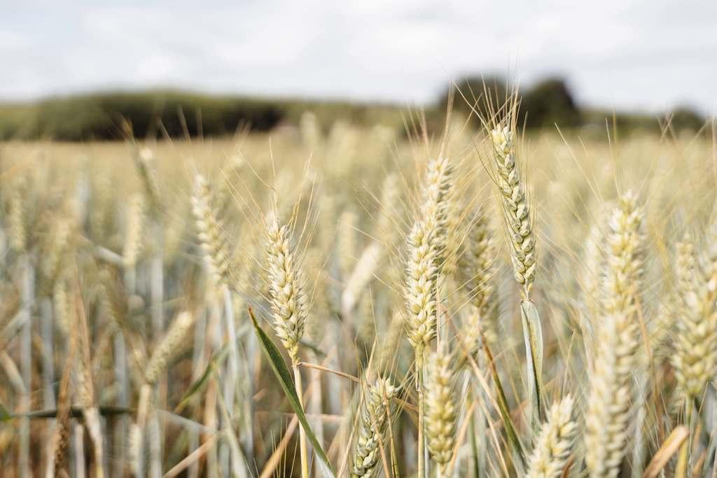 Крымские хлеборобы собрали на 48% больше зерна, чем в 2020 году — Аксенов