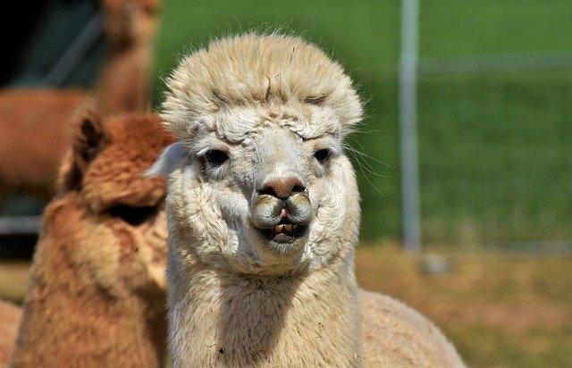 Антитела ламы эффективны против коронавируса — ученые