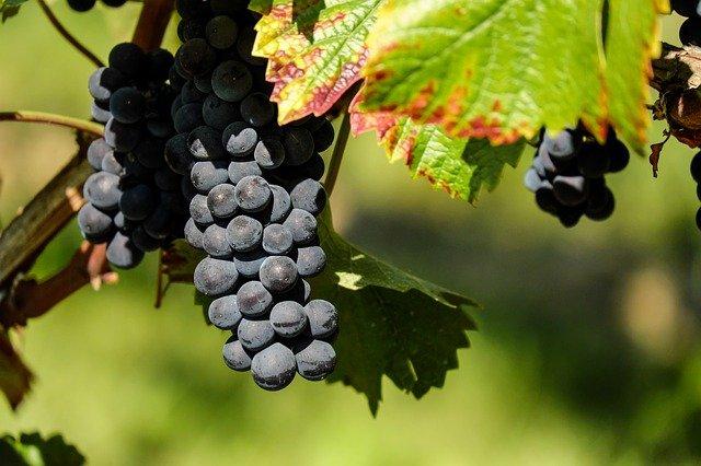 В Севастополе начался сезон сбора урожая винограда