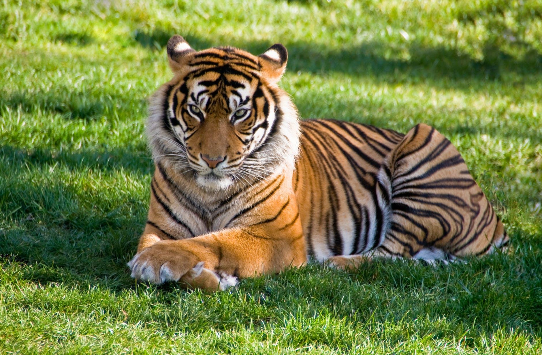 В крымском сафари-парке «Тайган» тигр откусил ребенку палец